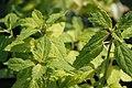 Teucrium viscidum Lemon and Lime 0zz.jpg