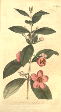 The Botanical Magazine, Plate 250 (Volume 7, 1794).png