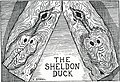 The Sheldon Duck.jpeg