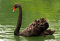 The black swan (Cygnus atratus) (31950151475).jpg