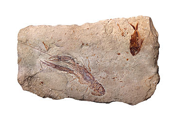 Lobster and fish fossils