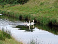 The swan family out for an afternoon swim - geograph.org.uk - 283609.jpg