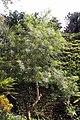Thevetia peruviana 18zz.jpg