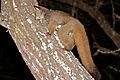 Thick-tailed Bushbaby (Otolemur crassicaudatus) (17296782866).jpg