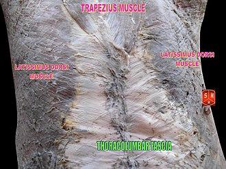 Thoracolumbar fascia - Thoracolumbar fascia
