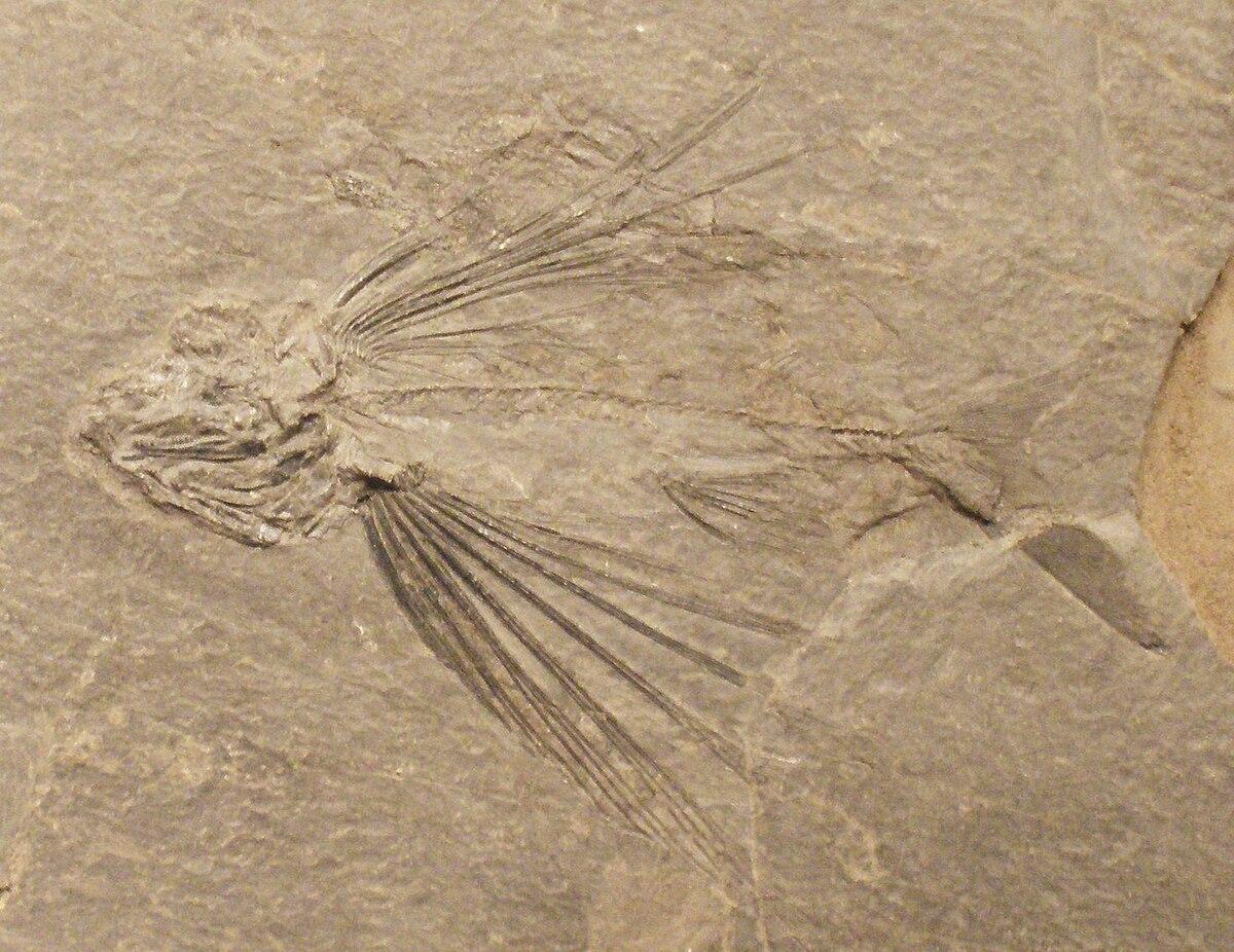 Thoracopterus magnificus.JPG