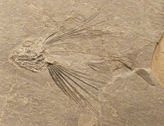 <i>Thoracopterus</i> genus of fishes (fossil)