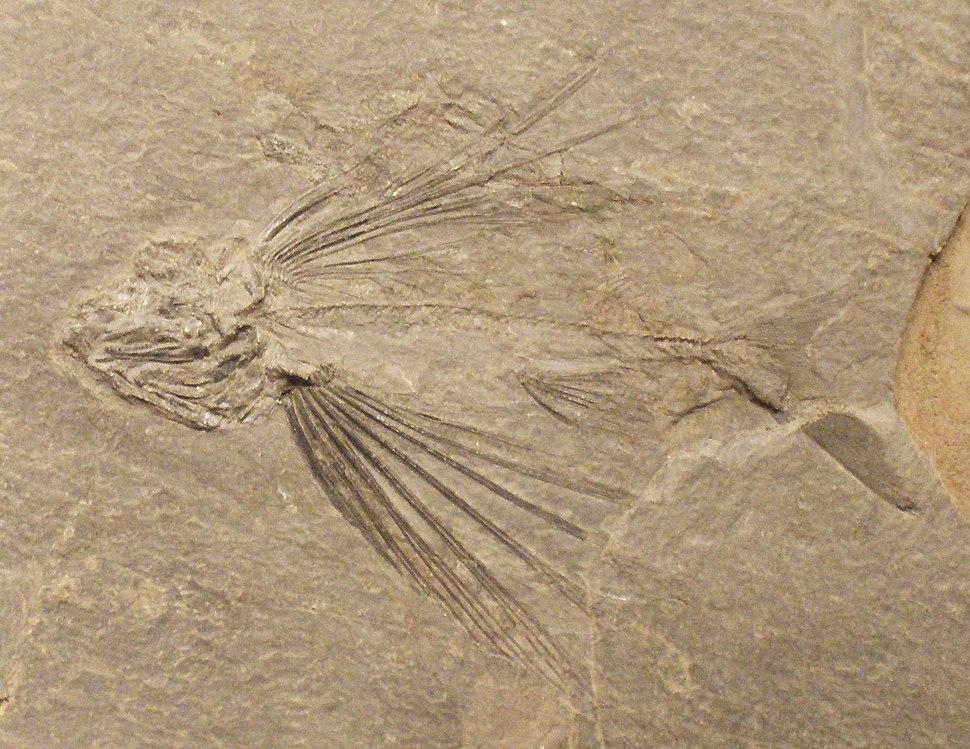 Thoracopterus magnificus