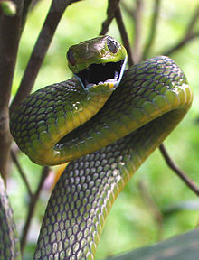 snake snakes cat boiga cyanea threatened wikipedia reptiles animals reptile angry cool colorful anaconda viper types python mamba mine rattlesnake