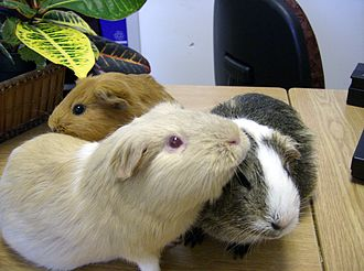 "Guinea pig - Guinea pigs ""social groom"" each other"