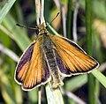 Thymelicus.lineola.6851.jpg
