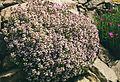 Thymus vulgaris 1b.jpg