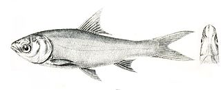 <i>Thynnichthys</i> genus of fishes