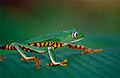 Tiger-striped Leaf Frog (Phyllomedusa tomopterna) (10377423194).jpg