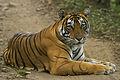 Tiger from Ranthanbore Sawai Madhopur Rajasthan India 12.10.2014.jpg