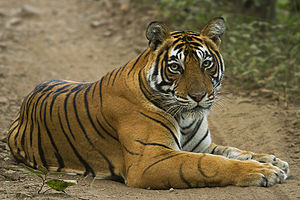 Ranthambore National Park - Tigress T39 from Zone-1.