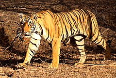Tiger in Ranthambhore.jpg