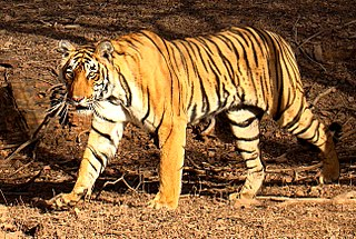 Bengal tiger Tiger population in Indian subcontinent