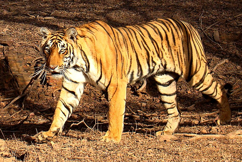 File:Tiger in Ranthambhore.jpg