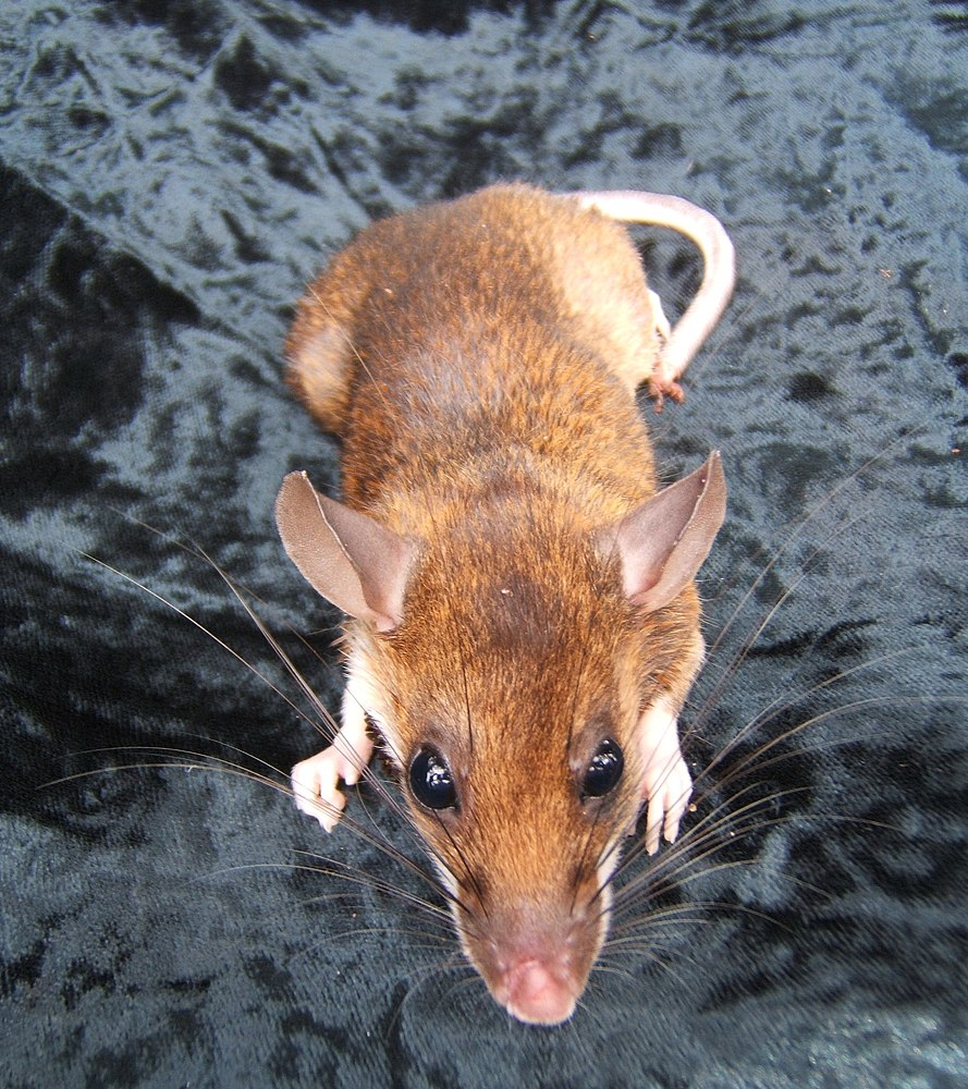 The average litter size of a Red spiny rat is 3