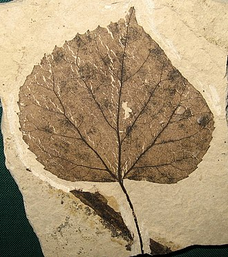 Tilia - T. johnsoni leaf fossil, 49 Ma, Washington, USA