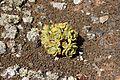 Tinajo - Montaña Colorada - Aeonium lancerottense 04 ies.jpg