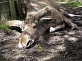 Tired-moose.jpg