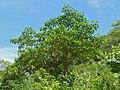 Toad-tree (Tabernaemontana elegans) (11822154834).jpg