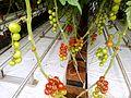Tomato ARM 12.jpg