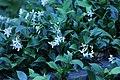 Trachelospermum jasminoides IMG 3168-star-jasmine.jpg