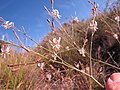 Trachyandra species IMG 7131.jpg