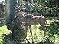 Tragelaphus strepsiceros in the Silesian Zoological Garden 01.JPG
