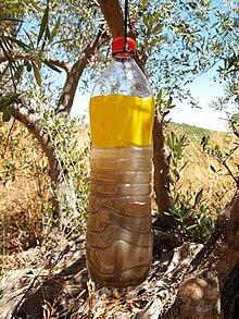 Mouche de l 39 olive les jardins de dzprod - Insecticide mouche de l olive ...