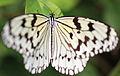 Tree Nymph Butterfly - Idea leuconoe - 大胡麻斑(オオゴマダラ) (8908739236).jpg