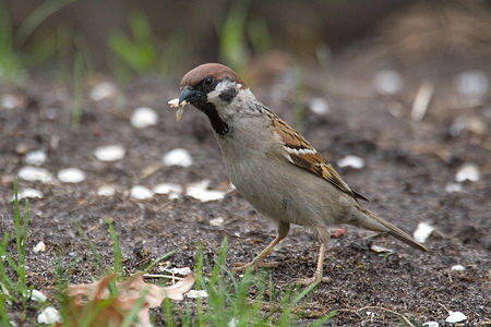 Tree Sparrow Lodz(Poland)(js)01.jpg