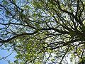 Tree at Eastbury Grange, Eastbury, Berkshire.jpg