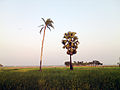 Tree in the field crops 4.jpg