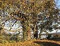 Trees near Salisbury Hall - geograph.org.uk - 622165.jpg