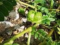 Tribulus cistoides fruit.jpg