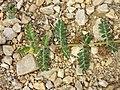 Tribulus terrestris sl7.jpg