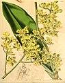 Trichocentrum cavendishianum (as Oncidium pachyphyllum) - Curtis' 67 (N.S. 14) pl. 3807 (1841).jpg
