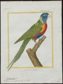 Trichoglossus novae hollandiae - 1700-1880 - Print - Iconographia Zoologica - Special Collections University of Amsterdam - UBA01 IZ18500213.tif
