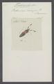 Trichoscelis - Print - Iconographia Zoologica - Special Collections University of Amsterdam - UBAINV0274 041 05 0004.tif