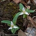 Trillium texanum Arkansas.jpg