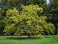 Trompetenbaum Catalpa bignonioides-20201009-RM-171129.jpg
