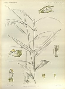 Tropidia curculigoides - The Orchids of the Sikkim-Himalaya pl 366 (1898).jpg
