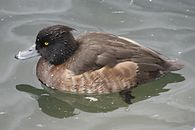 Tufted Duck (female) Nationalpark Bayerischer Wald.jpg