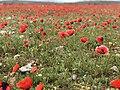 Tulip Fields in Armenia E6183 07.jpg