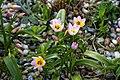 Tulipa saxatilis 'Lilac Wonder' at RHS Garden Hyde Hall, Dry Garden - Essex, England 01.jpg