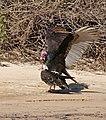 Turkey Vultures (Cathartes aura) couple (31466585590).jpg